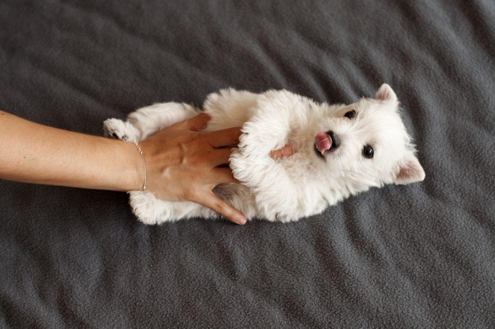 Hund Westie