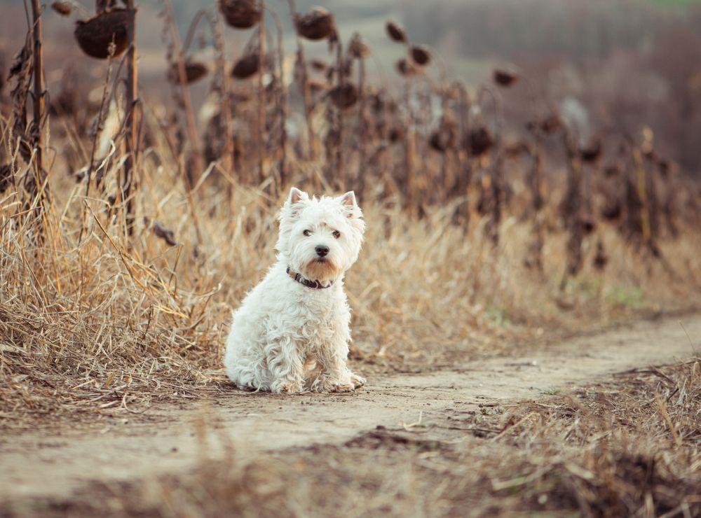 Schmerzen beim Laufen Tierarzt Westie