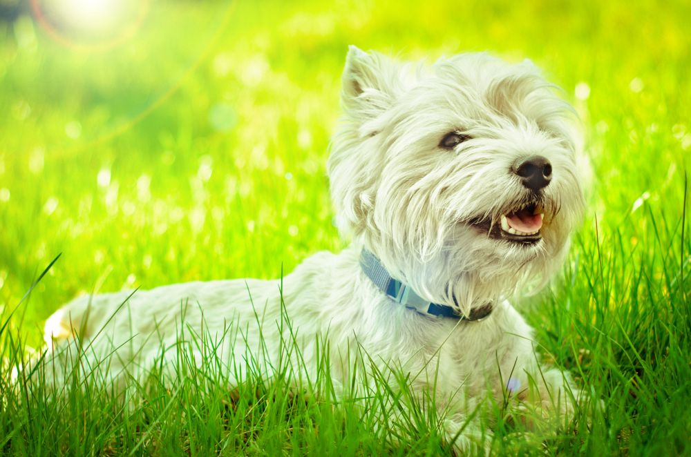 West Highland Terrier Charakter