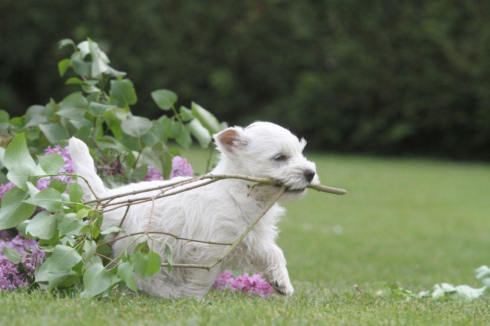 Westie Hund