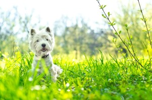 Westie in Not aus dem Tierheim