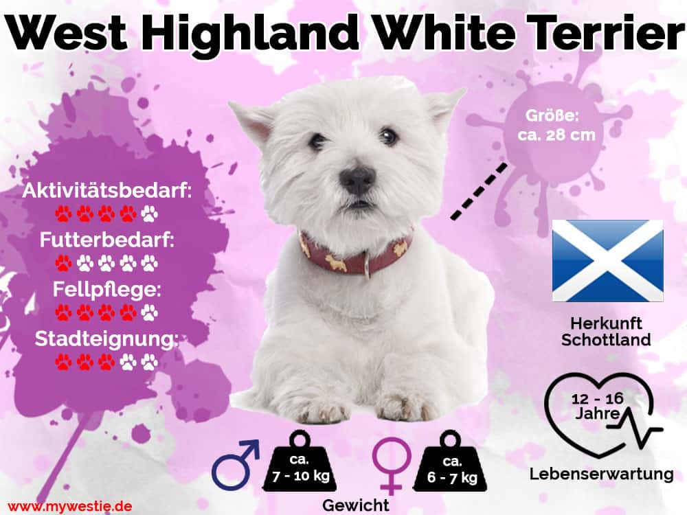 Westie Infografik