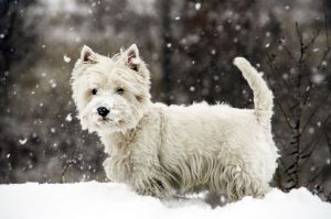 Lebenserwartung Westie