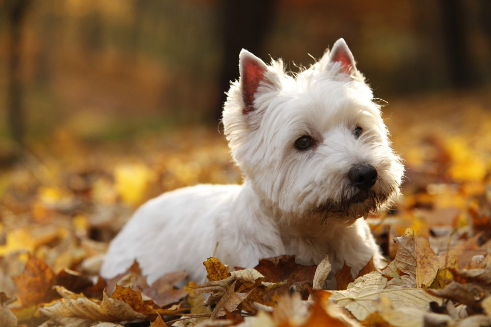 Lebenserwartung Westie Stress