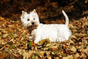 Westie Lebenserwartung