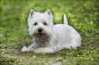 Westie lying on the grass - outdoor scene